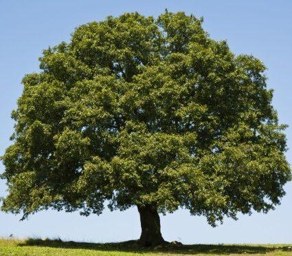 oak-tree-full-425x425-425x372